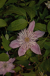 Empress Clematis (Clematis 'Empress') at The Mustard Seed