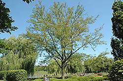 Skyline Honeylocust (Gleditsia triacanthos 'Skycole') at Dundee Nursery