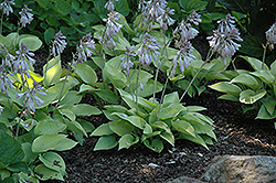 May Hosta (Hosta 'May') at Bartlett's Farm