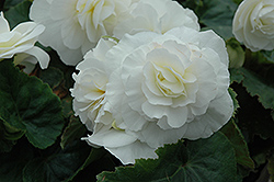 Nonstop® White Begonia (Begonia 'Nonstop White') at The Mustard Seed