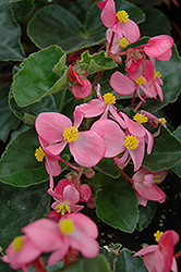 BabyWing® Pink Begonia (Begonia 'BabyWing Pink') at Bachman's Landscaping