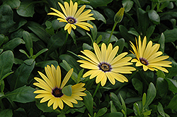 Lemon Symphony African Daisy (Osteospermum 'Lemon Symphony') at The Mustard Seed