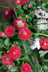 Bellisima™ Red English Daisy (Bellis perennis 'Bellissima Red') at Flagg's Garden Center
