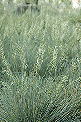 Elijah Blue Fescue (Festuca glauca 'Elijah Blue') at Bartlett's Farm