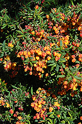 Dwarf Coral Hedge Barberry (Berberis x stenophylla 'Corallina Compacta') at A Very Successful Garden Center
