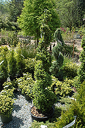 Common Boxwood (spiral) (Buxus sempervirens '(spiral)') at A Very Successful Garden Center