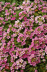 Easter Bonnet Deep Pink Alyssum (Lobularia maritima 'Easter Bonnet Deep Pink') at The Mustard Seed
