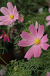 Sensation Cosmos (Cosmos 'Sensation') at Bartlett's Farm