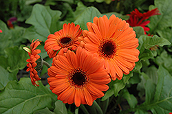 Orange Gerbera Daisy (Gerbera 'Orange') at The Mustard Seed