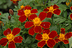 Disco Red Marigold (Tagetes patula 'Disco Red') at The Mustard Seed
