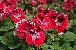 Elegance™ Red Velvet Geranium (Pelargonium 'Elegance Red Velvet') at Bachman's Landscaping
