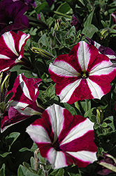 Easy Wave® Burgundy Star Petunia (Petunia 'Easy Wave Burgundy Star') at The Mustard Seed