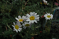 Silver Kisses Mount Atlas Daisy (Anacyclus pyrethrum 'Silberkissen') at The Mustard Seed