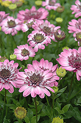 3D Pink African Daisy (Osteospermum '3D Pink') at The Mustard Seed