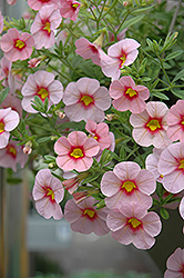 Aloha Tiki Soft Pink Calibrachoa (Calibrachoa 'Aloha Tiki Soft Pink') at The Mustard Seed