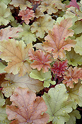 Marmalade Coral Bells (Heuchera 'Marmalade') at The Mustard Seed