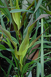 Purple Majesty Millet (Pennisetum glaucum 'Purple Majesty') at Bartlett's Farm