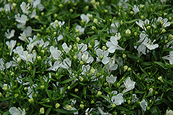 Riviera White Lobelia (Lobelia erinus 'Riviera White') at The Mustard Seed