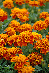 Little Hero Flame Marigold (Tagetes patula 'Little Hero Flame') at The Mustard Seed