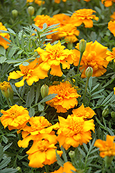 Little Hero Gold Marigold (Tagetes patula 'Little Hero Gold') at The Mustard Seed