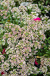 Easter Bonnet Peach Alyssum (Lobularia maritima 'Easter Bonnet Peach') at Bartlett's Farm