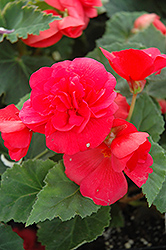 Nonstop® Rose Pink Begonia (Begonia 'Nonstop Rose Pink') at Bachman's Landscaping