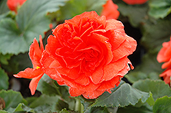 Nonstop® Salmon Begonia (Begonia 'Nonstop Salmon') at The Mustard Seed