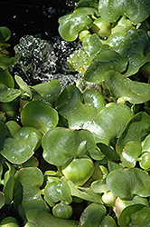 Water Hyacinth (Eichhornia crassipes) at Green Haven Garden Centre