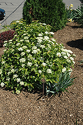 Blue Muffin® Viburnum (Viburnum dentatum 'Christom') at The Mustard Seed