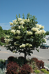 Snowdance™ Japanese Tree Lilac (Syringa reticulata 'Bailnce') at The Mustard Seed