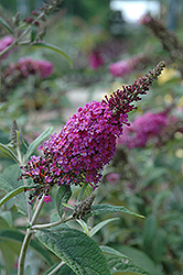 Miss Ruby Butterfly Bush (Buddleia davidii 'Miss Ruby') at Bartlett's Farm