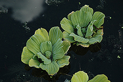 Water Lettuce (Pistia stratiotes) at The Mustard Seed