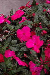 Super Sonic Pink New Guinea Impatiens (Impatiens hawkeri 'Super Sonic Pink') at The Mustard Seed