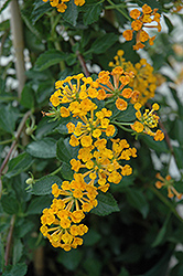 Tangerine Lantana (Lantana 'Mone') at The Mustard Seed