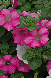 Supertunia® Raspberry Blast Petunia (Petunia 'Supertunia Raspberry Blast') at Bartlett's Farm