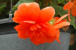 Nonstop® Orange Begonia (Begonia 'Nonstop Orange') at Bartlett's Farm