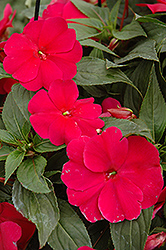 Sonic® Burgundy New Guinea Impatiens (Impatiens 'Sonic Burgundy') at The Mustard Seed