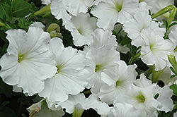 Madness White Petunia (Petunia 'Madness White') at The Mustard Seed
