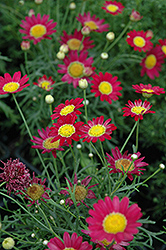 Madeira Red Marguerite Daisy (Argyranthemum frutescens 'Madeira Red') at Flagg's Garden Center
