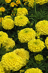 Marvel Yellow Marigold (Tagetes erecta 'Marvel Yellow') at The Mustard Seed