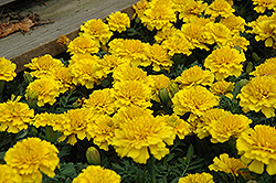 Janie Bright Yellow Marigold (Tagetes patula 'Janie Bright Yellow') at Flagg's Garden Center