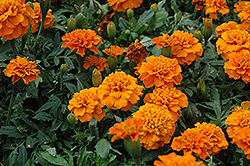 Janie Deep Orange Marigold (Tagetes patula 'Janie Deep Orange') at The Mustard Seed