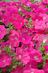 Easy Wave Pink Petunia (Petunia 'Easy Wave Pink') at The Mustard Seed