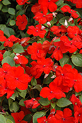 Super Elfin® XP Scarlet Impatiens (Impatiens walleriana 'Super Elfin XP Scarlet') at The Mustard Seed