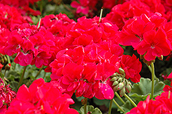 Cumbanita Deep Rose Geranium (Pelargonium 'Cumbanita Deep Rose') at Bachman's Landscaping