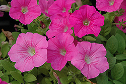Wave Pink Petunia (Petunia 'Wave Pink') at The Mustard Seed
