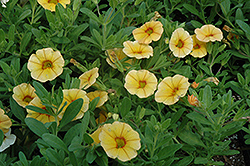 Aloha Gold Calibrachoa (Calibrachoa 'Aloha Gold') at The Mustard Seed