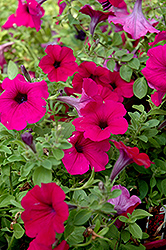Wave Purple Classic Petunia (Petunia 'Wave Purple Classic') at Bachman's Landscaping