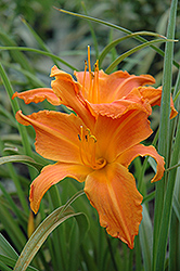 Primal Scream Daylily (Hemerocallis 'Primal Scream') at The Mustard Seed