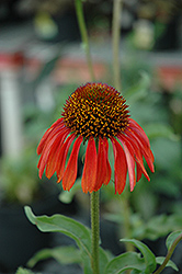 Firebird Coneflower (Echinacea 'Firebird') at Flagg's Garden Center